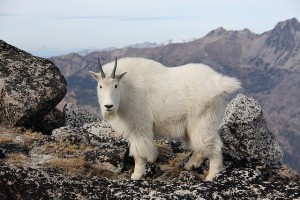Cashmere goat by Jeffrey Pang