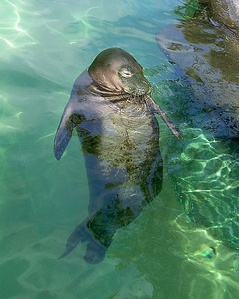 480px-hawaiian_monk_seal011