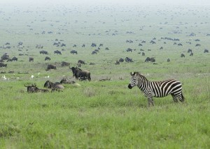 Each year over two million animals complete a 2,000 mile roundtrip migratory journey beginning in the Serengeti
