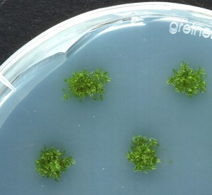 physcomitrella_growing_on_agar_plates