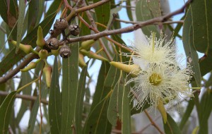 800px-eucalyptus_tereticornis_flowers_capsules_buds_and_foliage