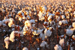 Cotton field (credit: Kimberly Vardeman, Wikimedia Commons)
